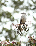 Mocking Bird Stock Image