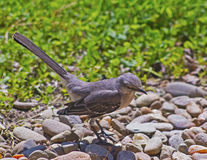 Mocking bird standing in rocks. Stock Photography