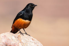Mocking cliff chat sitting in sun on rock Stock Images