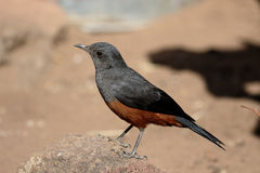 Mocking cliff-chat, Thamnolaea cinnamomeiventris Stock Photography