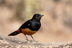 Mocking cliff-chat, Thamnolaea cinnamomeiventris Stock Photo