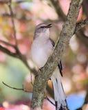 Mockingbird με μια τοποθέτηση στοκ φωτογραφία