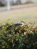 Mockingbird στο θάμνο Στοκ Φωτογραφίες