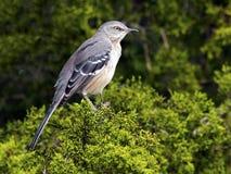 mockingbird клиппирования 3d северный над белизной тени перевода путя стоковые изображения rf