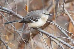 mockingbird клиппирования 3d северный над белизной тени перевода путя Стоковое фото RF
