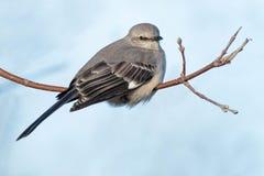 mockingbird клиппирования 3d северный над белизной тени перевода путя Стоковые Фотографии RF