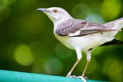 mockingbird клиппирования 3d северный над белизной тени перевода путя Стоковая Фотография