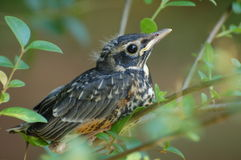 mockingbird младенца Стоковые Фото