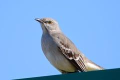 mockingbird северный Стоковое Изображение RF