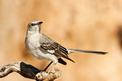 mockingbird северный Стоковая Фотография