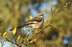 Mockingbird 1 Royalty Free Stock Image