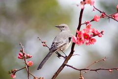 Mockingbird 1 Royalty Free Stock Images