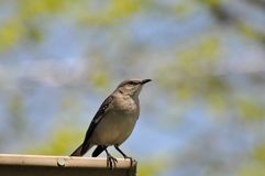 Mockingbird Imagem de Stock Royalty Free