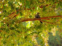 mockingbird royalty-vrije stock foto