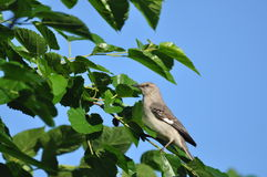 Mockingbird Fotos de Stock Royalty Free