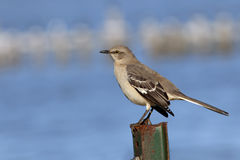 Mockingbird Royalty Free Stock Images