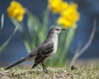 Mockingbird 4512 zdjęcie stock