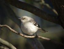 mockingbird Стоковая Фотография RF