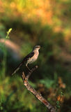 Mockingbird Stock Photography