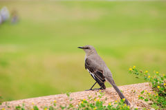 Mockingbird Stock Image
