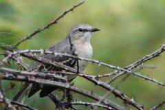 Mockingbird Стоковые Фото