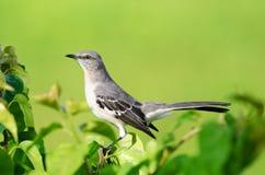 Βόρειο Mockingbird Στοκ Φωτογραφία