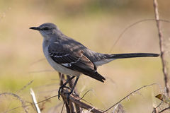 Mockingbird immagine stock