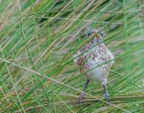 mockingbird stock foto's