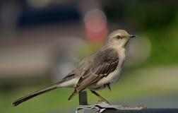 mockingbird royalty-vrije stock afbeeldingen