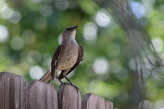 mockingbird Fotografia Royalty Free
