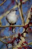 mockingbird royalty-vrije stock afbeelding