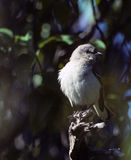 mockingbird Obraz Royalty Free