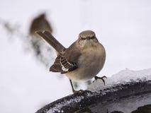 Mockingbird with Attitude Royalty Free Stock Photo
