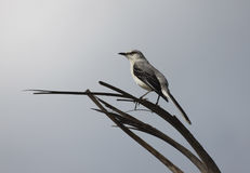 Mockingbird bird Royalty Free Stock Photography