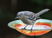 Mockingbird and bird bath Stock Photo