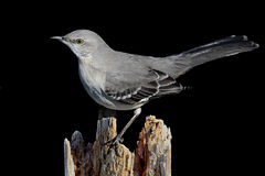 Mockingbird On Black Royalty Free Stock Images