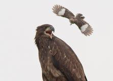 Mockingbird body slamming young Bald Eagle. This mockingbird was body slamming this young bald eagle Stock Photography