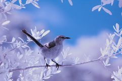 Mockingbird on branch. A mockingbird on a branch photographed in infrared and toned Stock Images