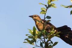 Mockingbird on a branch Royalty Free Stock Photos