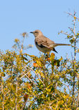 Mockingbird on branches. Pretty mockingbird standing on tree branches Royalty Free Stock Images