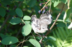Mockingbird Chick Royalty Free Stock Photo
