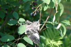 Mockingbird Chick Royalty Free Stock Images