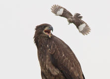 Mockingbird ciało zatrzaskuje młodego Łysego Eagle Fotografia Stock