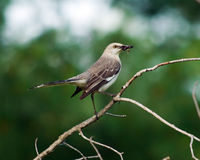 Mockingbird Royalty Free Stock Photography