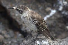 Mockingbird de las Islas Gal3apagos Imágenes de archivo libres de regalías