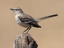 Mockingbird do norte Imagem de Stock