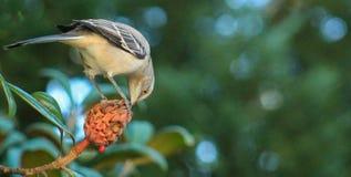 Mockingbird eating magnolia bud Royalty Free Stock Photography
