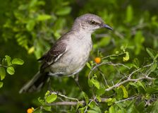 Mockingbird en granjeno foto de archivo libre de regalías