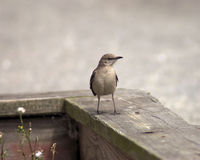 Mockingbird on a fence. Lone young mockingbird surveying the area Royalty Free Stock Photo