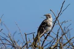 mockingbird galapagos Стоковое Изображение RF